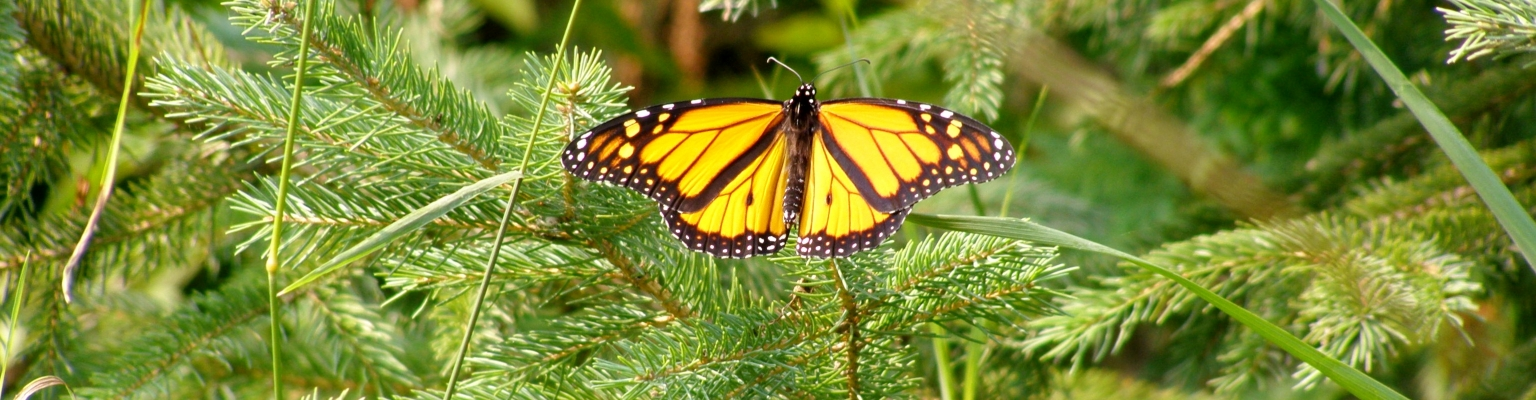 Monarch butterfly on branch at the EcoPark Trail