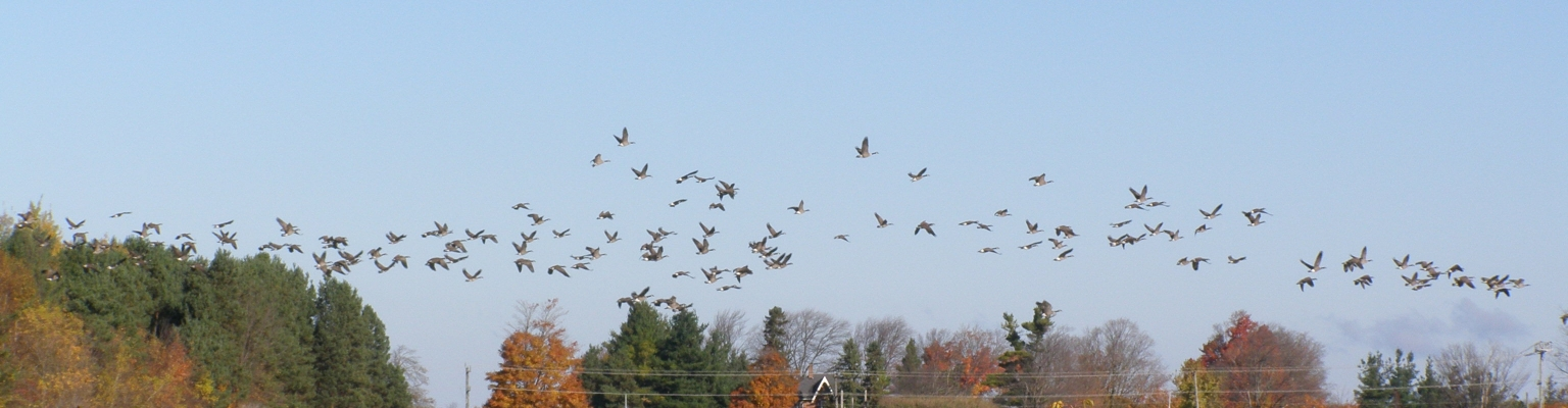 View of the EcoPark ponds with Canada Geese flying